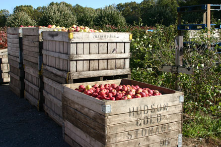 Apples at Jaswell Farm