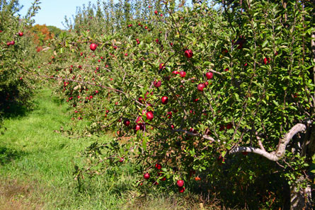 Apple trees at Steere Farm