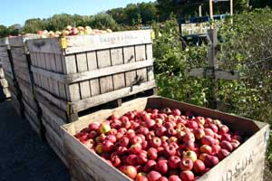 Apples at Jaswell's Farm